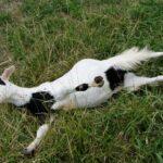 Обморочная коза: Животное, Которое Замирает От Волнения И Испуга