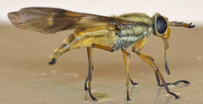 Оленья муха