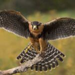 Большие Хищники: 10 Самых Больших Соколов В Птичьем Царстве
