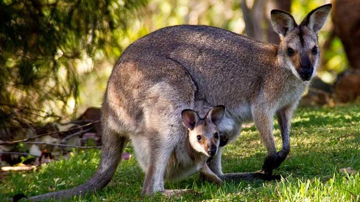 Валлару или горный кенгуру
