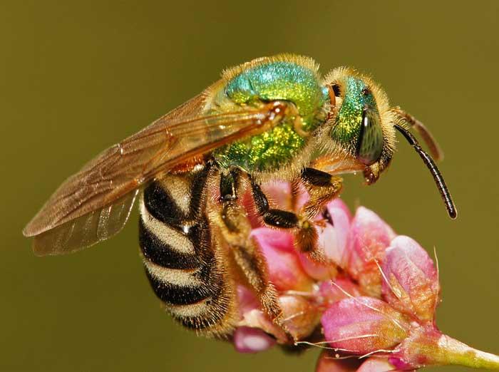 Agapostemon virescens (двухцветная полосатая потовая пчела)