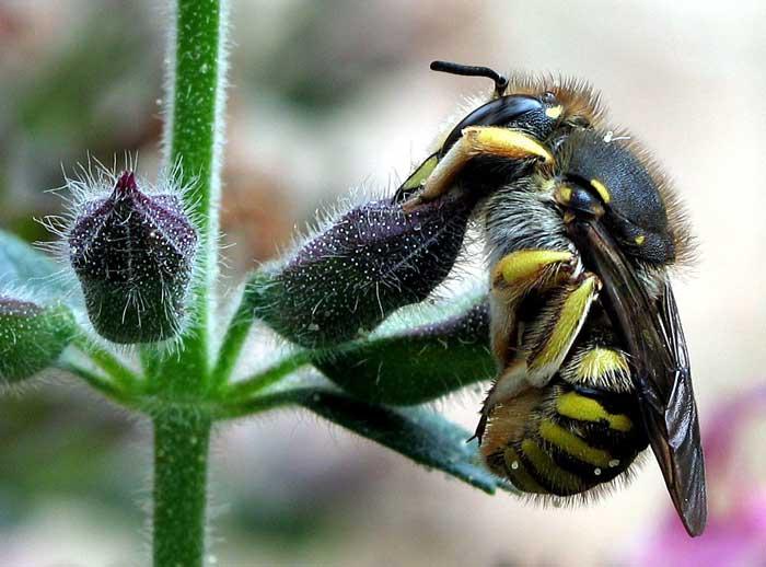 Пчела-шерстобит (лат. Anthidium manicatum)