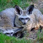 Большеухая лисица: Единственный Сохранившийся Вид Рода Otocyon