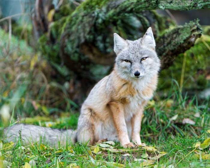 Корсак или степная лисица