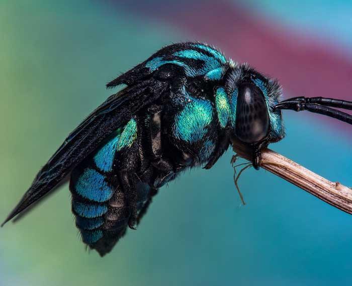 Пчела кукушка