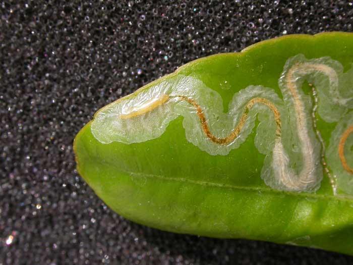Листовой шахтер (Phyllocnistis populiella)