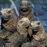 Морская Игуана: Морская Рептилия С Галапагосских Островов