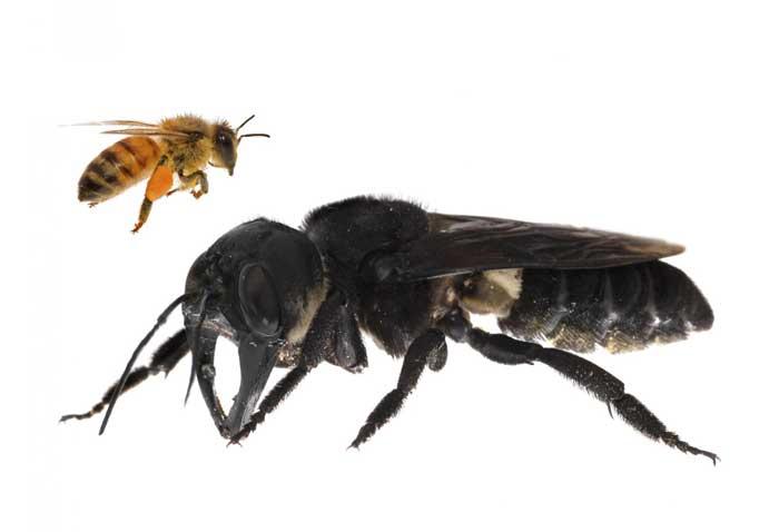 Гигантская пчела Уоллеса (Megachile Pluto)