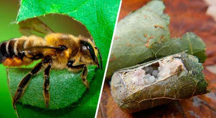 Пчелы-листорезы