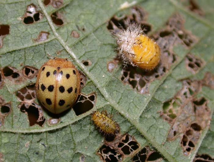 Мексиканский бобовый жук