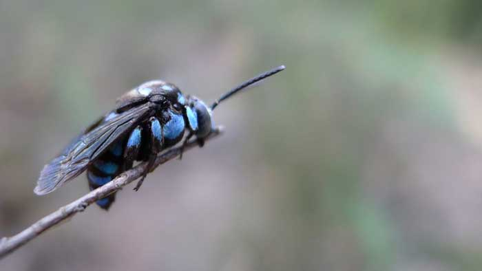 Неоновая Пчела-Кукушка