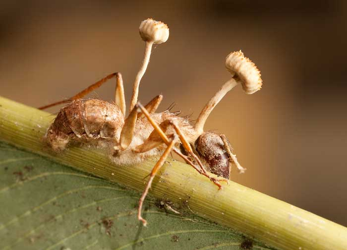Кампонотус (муравьи-древоточцы)