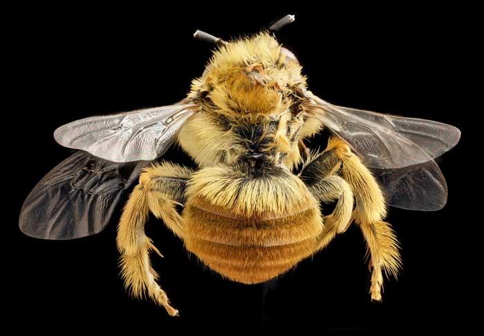 Роголицая Пчела (Osmia cornifrons)
