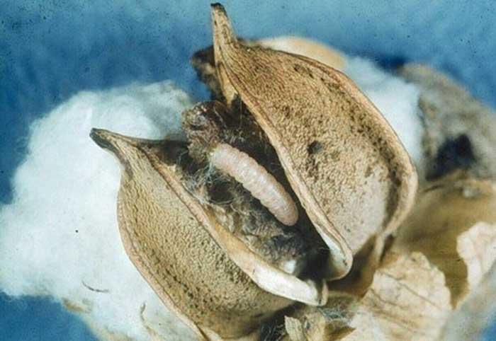 Розовый совка (Pectinophora gossypiella)