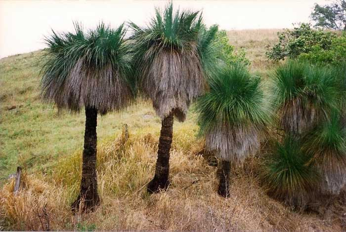 Австралийское травянистое дерево