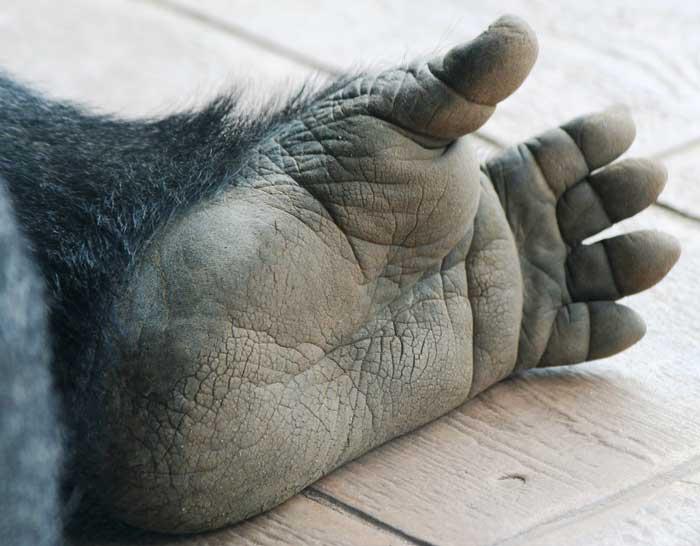 отпечатки пальцев у гориллы