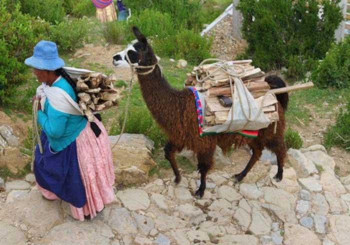 ламы в Перу