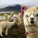 Лама: Полезное Животное Скалистых Гор