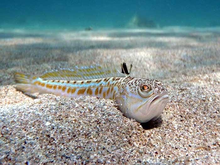 Рыба морской дракончик