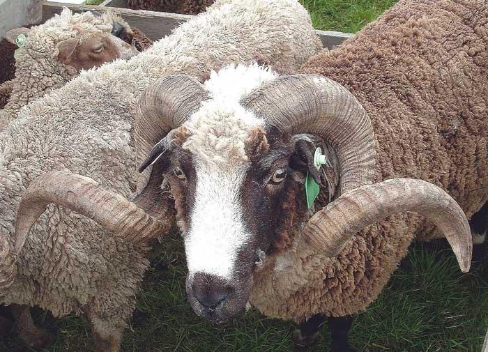 Овца Арапава