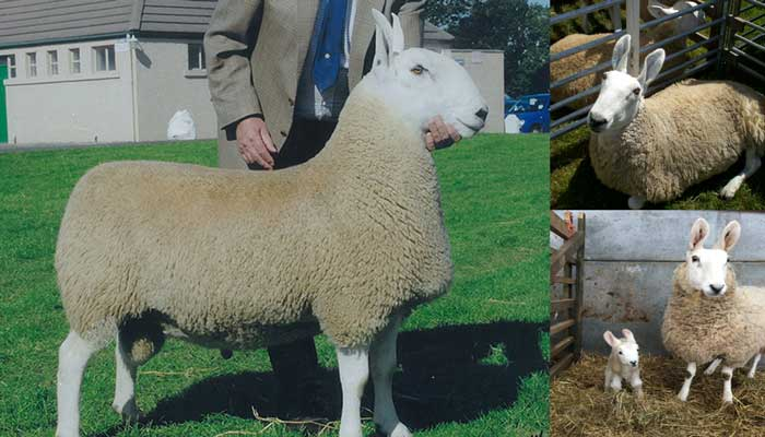 Бордер-лейстерские овцы