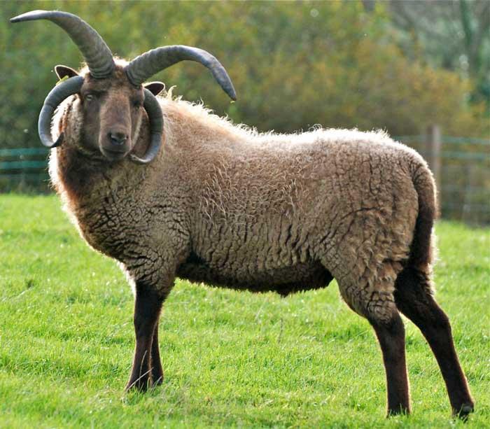Овцы святого Якова