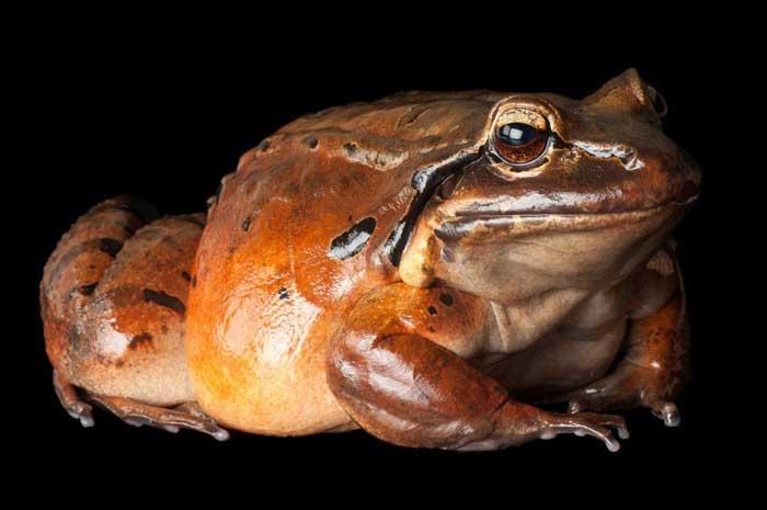 Доминиканская горная лягушка, или антильский свистун