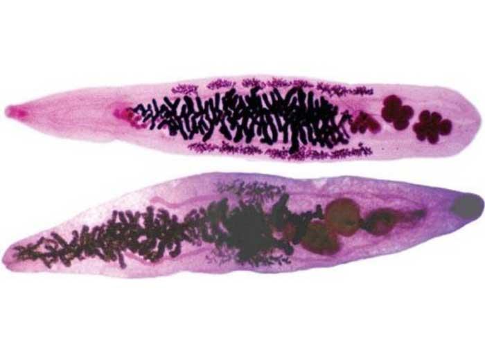 Ланцетовидная двуустка (Dicrocoelium dendriticum)