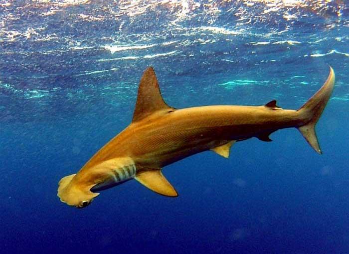 Малоглазая гигантская акула-молот