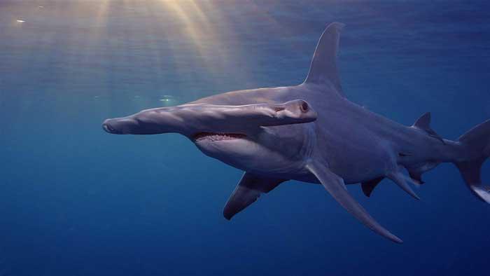Обыкновенная акула-молот