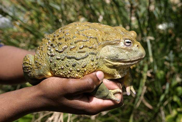 Роющая лягушка (Африканская лягушка-бык)
