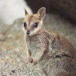 Валлаби: Очаровательный Прыгучий Зверек, Родом Из Австралии