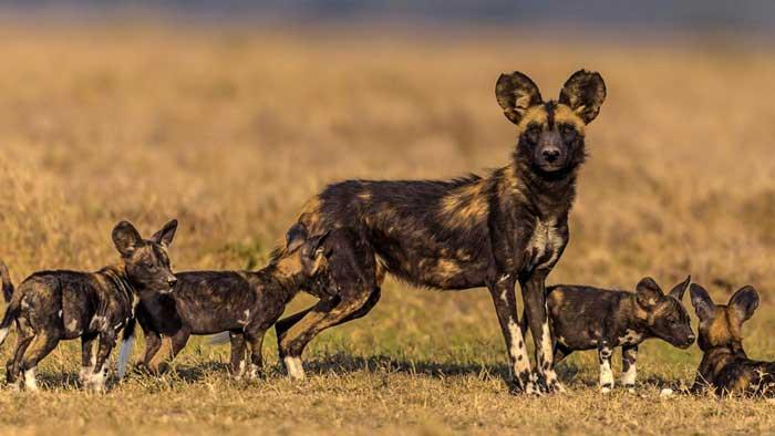 Африканская дикая собака