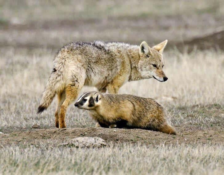 Барсуки и койоты