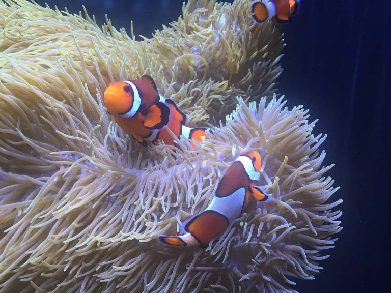 Рыба-клоун и анемон