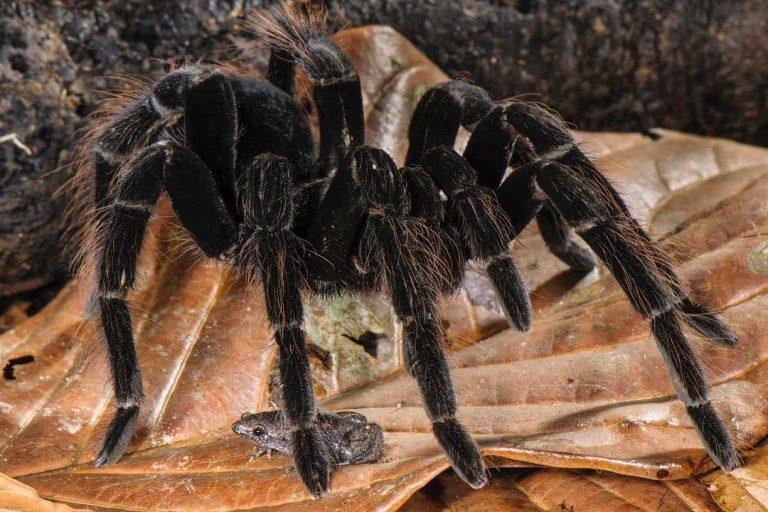 Каролинка и тарантул