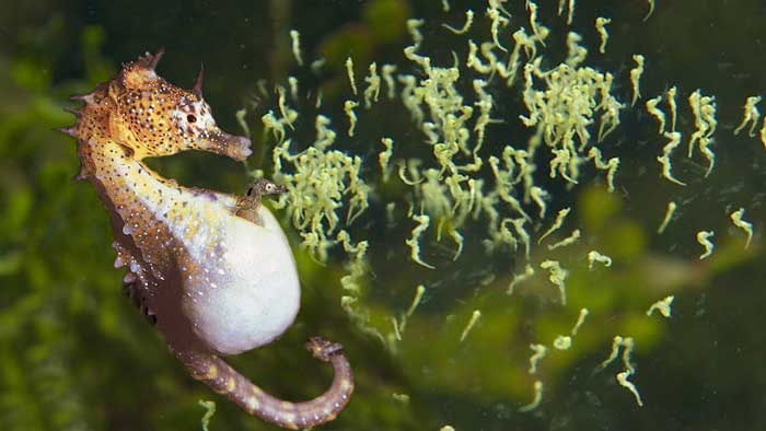 Морской конек