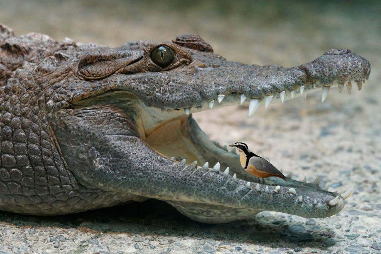 Нильские крокодилы и крокодилов сторож (египетские зуйки)