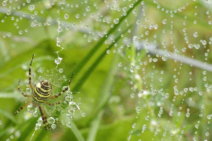 Каплевидный паук