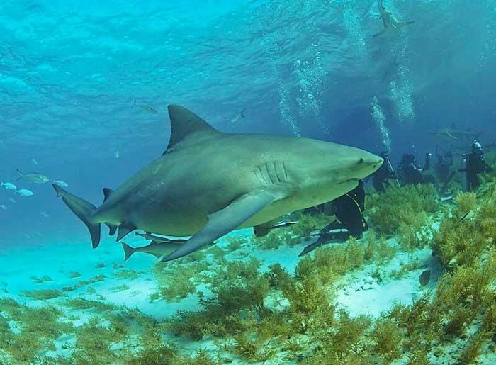 Бычьи акулы