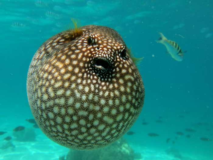 Иглобрюх или рыба-фугу