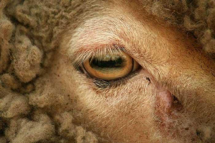 зрачок Овцы